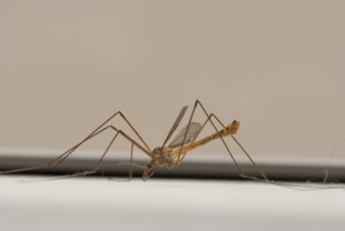 Mosquito - Zanzara